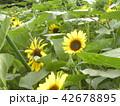 色々な花の咲く種類のヒマワリの黄色い花 42678895