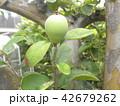 秋には香りの良い実に熟すカリンの未熟な実 42679262