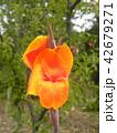 大きいオレンジ色の花カンナ多年草 42679271