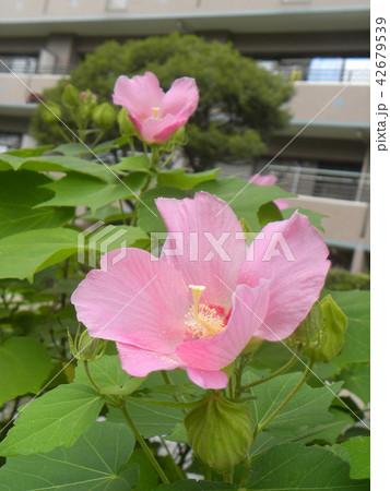 夏の花アメリカフヨウの桃色の花 42679539