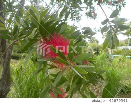 オーストラリアからやって来た赤い花ブラシノキ 42679541