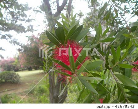 オーストラリアからやって来た赤い花ブラシノキ 42679542