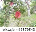 オーストラリアからやって来た赤い花ブラシノキ 42679543