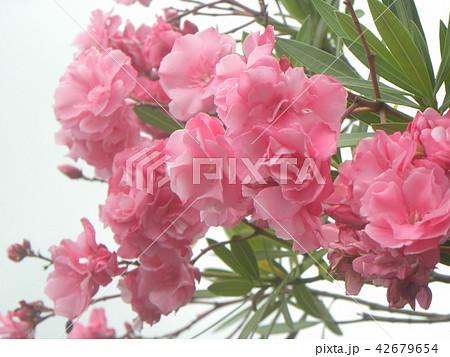 千葉市の花木キョウチクトウの赤い花 42679654