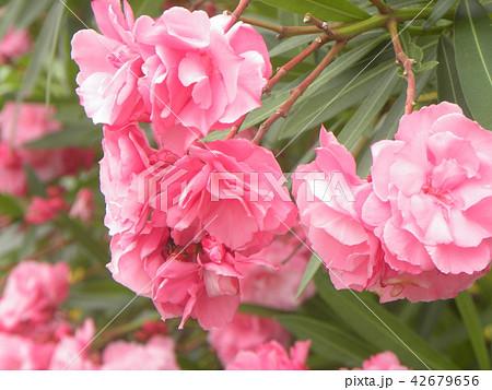 千葉市の花木キョウチクトウの赤い花 42679656