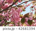 桃の花 42681394