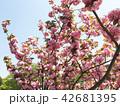 桃の花 42681395