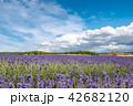 ラベンダー畑 花畑 ラベンダーの写真 42682120
