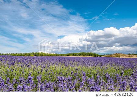 ニュージランドのラベンダー畑 42682120