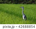 サギ 田んぼ 野鳥の写真 42688854
