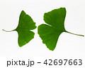 銀杏 公孫樹 イチョウの写真 42697663