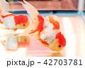 金魚 蘭鋳 観賞魚の写真 42703781