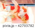 金魚 蘭鋳 観賞魚の写真 42703782