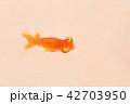 頂天眼 金魚 魚の写真 42703950