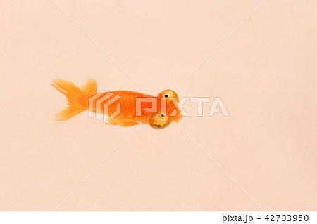 チョウテンガン 金魚 42703950