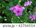 ピンクの花 42704554