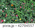草花 42704557