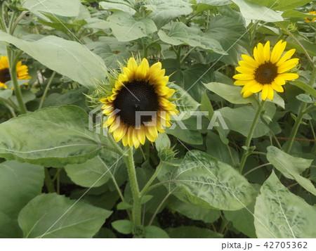 夏の花といえば黄色いヒマワリ 42705362
