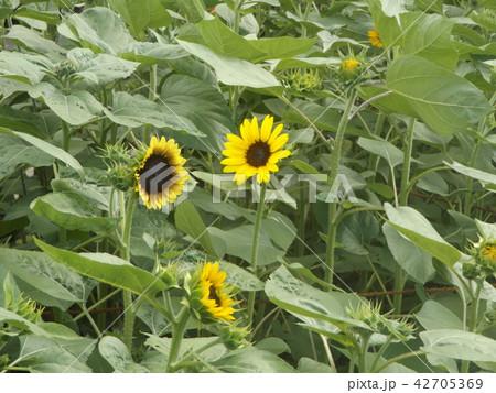 夏の花といえば黄色いヒマワリ 42705369