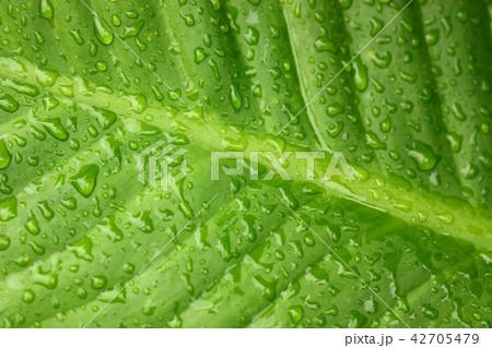 macro view of Colocasia esculenta,the big leaf. 42705479