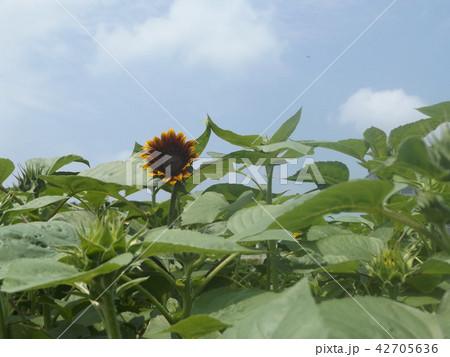夏の花といえば黄色いヒマワリ 42705636