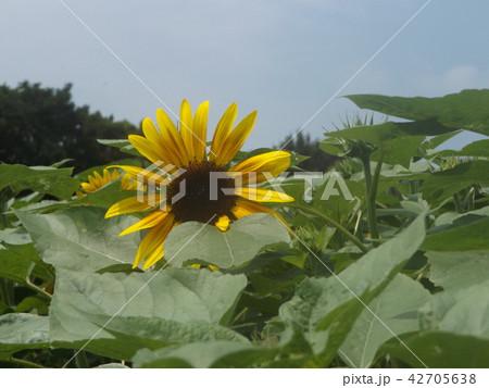 夏の花といえば黄色いヒマワリ 42705638