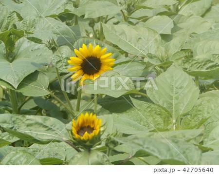 夏の花といえば黄色いヒマワリ 42705640