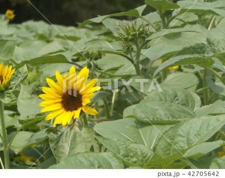夏の花といえば黄色いヒマワリ 42705642