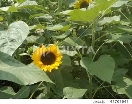夏の花といえば黄色いヒマワリ 42705645
