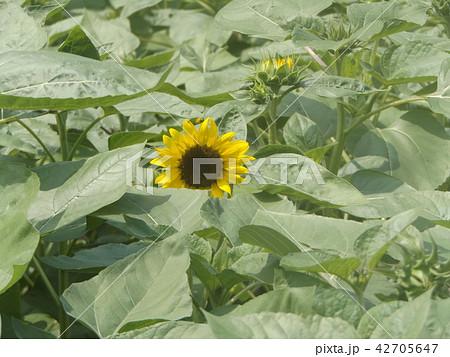 夏の花といえば黄色いヒマワリ 42705647