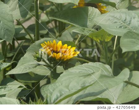 夏の花といえば黄色いヒマワリ 42705649