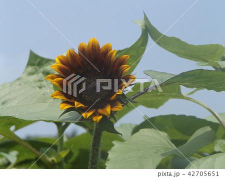 夏の花といえば黄色いヒマワリ 42705651