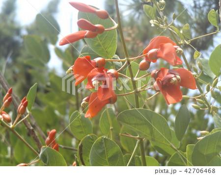 夏の花にぴったり。情熱の赤い花アメリカデイゴの花 42706468