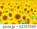 向日葵 ひまわり 花の写真 42707089