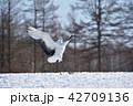 タンチョウ 鶴 鳥の写真 42709136