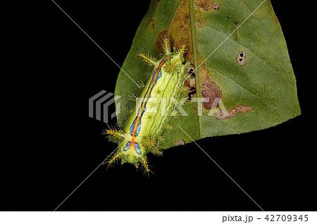 クロシタアオイラガ、危険な毒虫 42709345