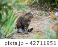 猫 野良猫 動物の写真 42711951