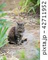 猫 野良猫 動物の写真 42711952