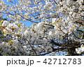 さくら サクラ 桜の写真 42712783