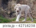 ホワイトタイガー 42716238