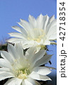 花 サボテン 多肉植物の写真 42718354