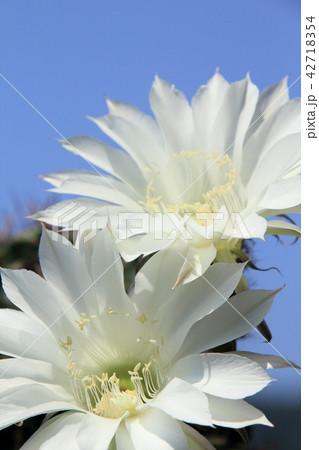 サボテンの花 42718354