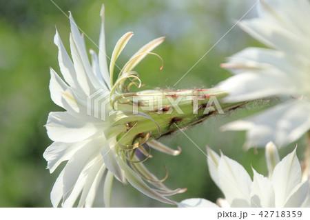 サボテンの花 42718359