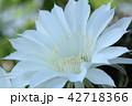 花 サボテン 多肉植物の写真 42718366