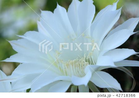 サボテンの花 42718366