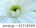 花 サボテン 多肉植物の写真 42718369