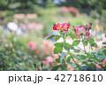 バラ 薔薇 花の写真 42718610