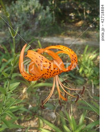 スカシユリの仲間のオレンジの花 42718884