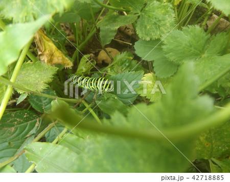 キアゲハの幼虫 42718885