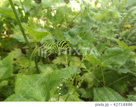 キアゲハの幼虫 42718886